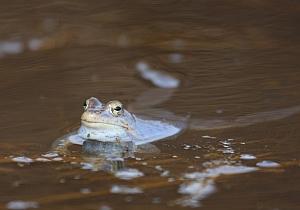 (fot. żaba moczarowa)