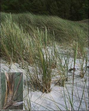 piaskownica zwyczajna
