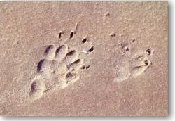 The spore of European badger on the sand