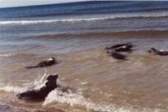 Foki w morzu. fot. M. Zielonka