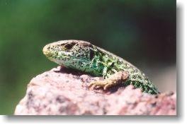 The portrait of male sand lizard