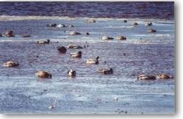 Mallard (Wild Duck)